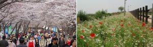 100 Spring Flower Streets in Seoul