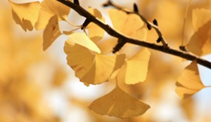 the ginkgo