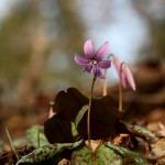 [Mayor Park Won Soon's Hope Journal 451] Dog's Tooth Violet