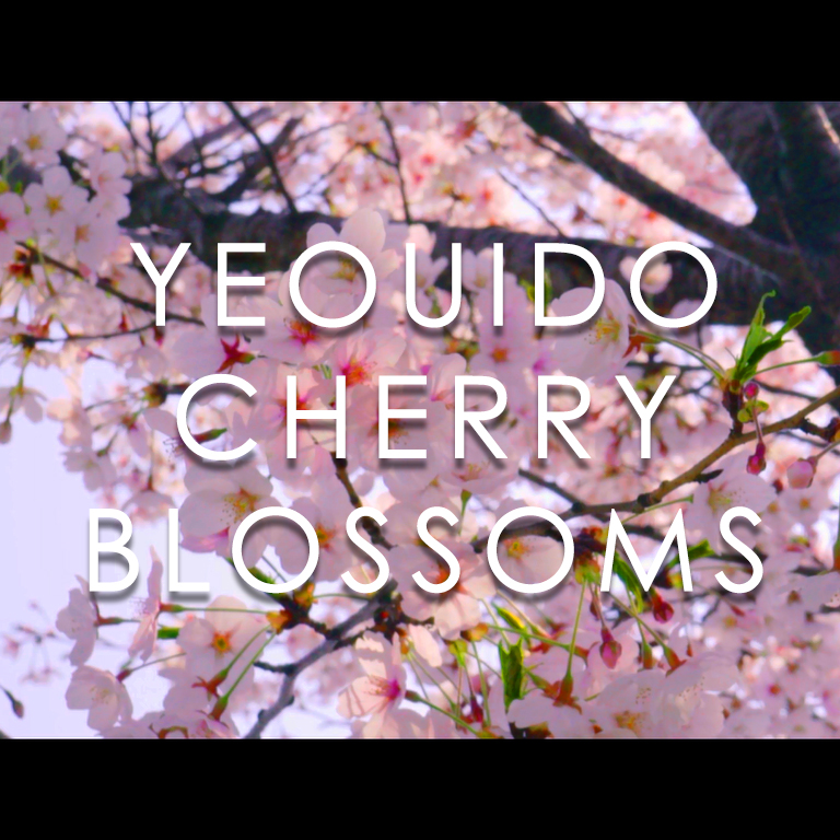 Yeouido Cherry Blossoms (가까이서 보이는 여의도 벚꽃)