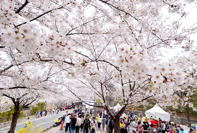 Image result for yeouido spring flower festival