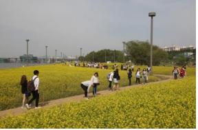 """""""Seoul's Spring in Bloom"""" 《Han River Spring Flower Festival》"""