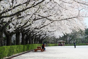 2017 Seoul Grand Park Cherry Blossom Festival