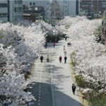 Seoul's '180 Beautiful Spring Flower Roads'