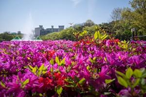 Cheonho Park Azalea Festival