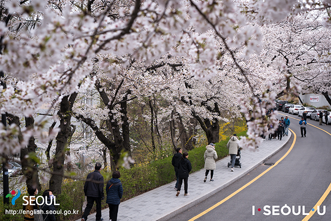 Namsan's Cherry Blossoms