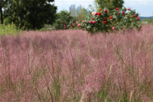 Pink Muhly Grass in Full Bloom at Jamwon Hangang Park