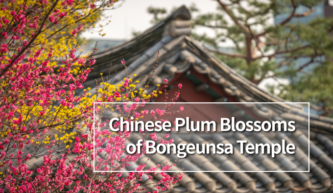 Chinese Plum Blossoms of Bongeunsa Temple
