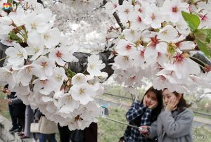 Time of Last Bus Extended Later on Weekends for Enjoyment of Yeouido's Spring Flowers