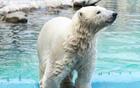 Russian polar bears to arrive in Seoul