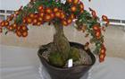 [Mayor Park Won Soon's Hope Journal 96] Chrysanthemum bonsai, anyone?
