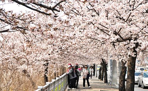 [Yeouido Cherry Blossom Festival]